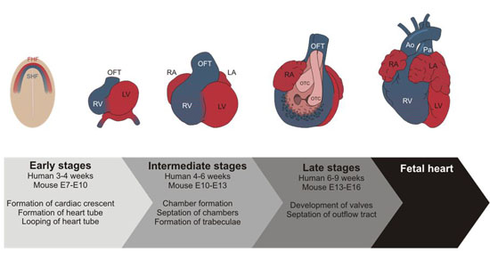 Figure of Developmental stages of the heart