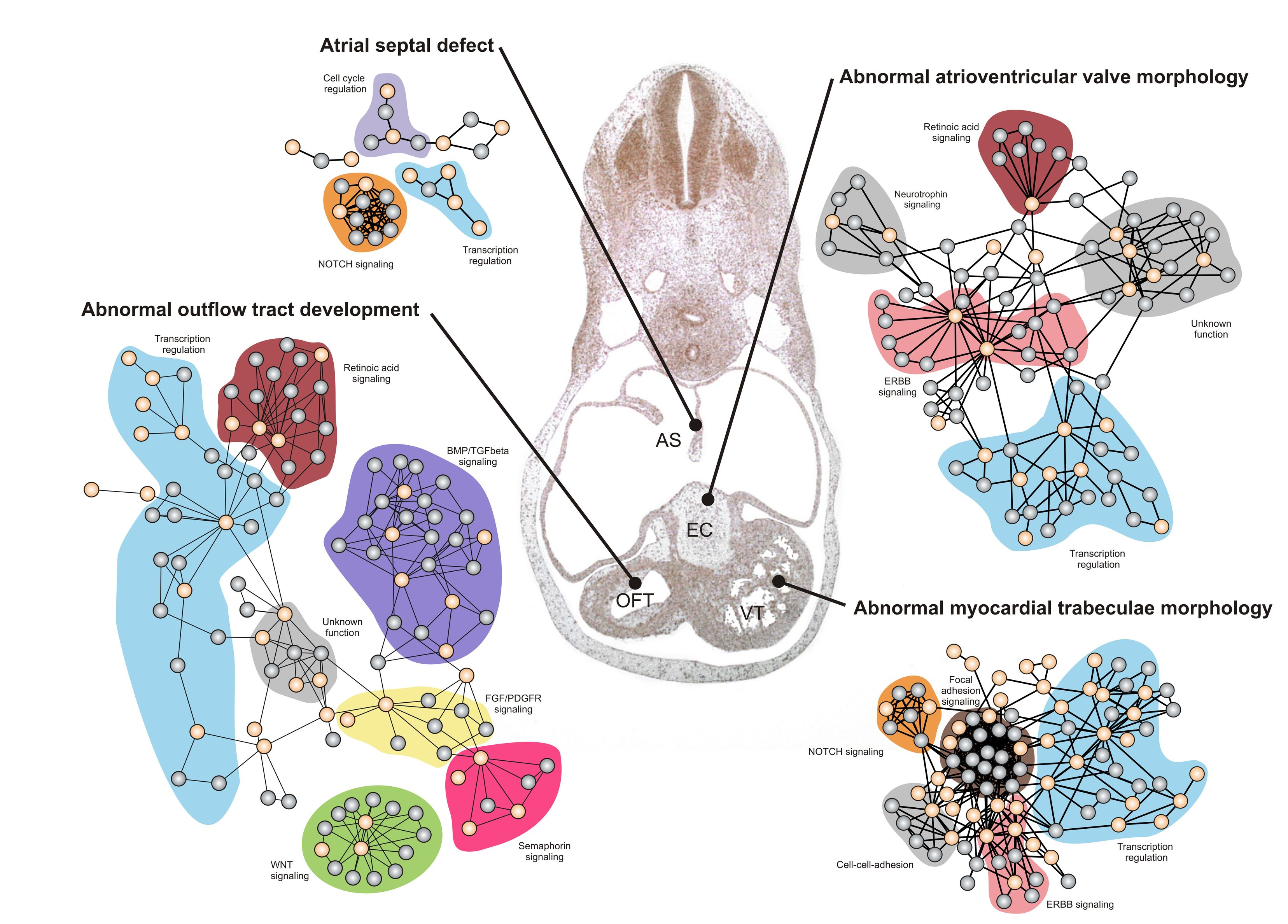 Figure of Developmental networks involved in development of specific cardiac structures