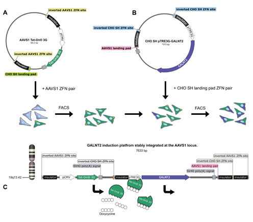 figure - Generation of GalNAc-T2 inducing Hek293 cells by precise integration of inducible transcriptional elements