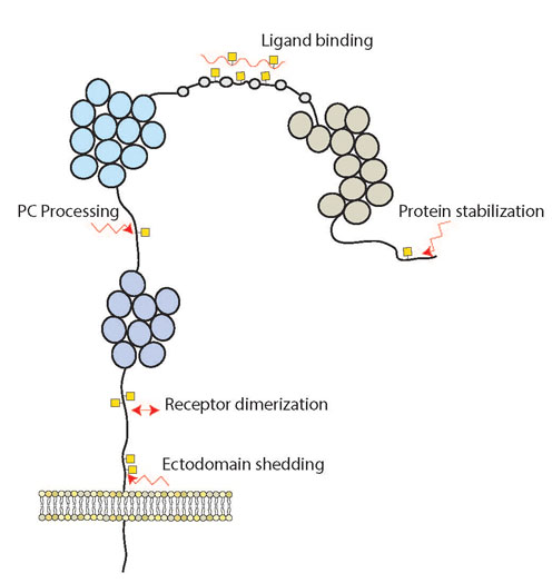 figure - Schematic depiction of site specific protein O-glycosylation and suggested biological function